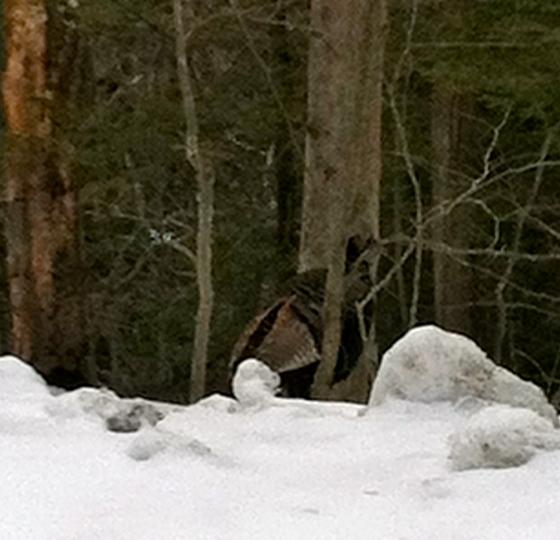 My turkey hiding like one of Ms. Doolittle's ponies!