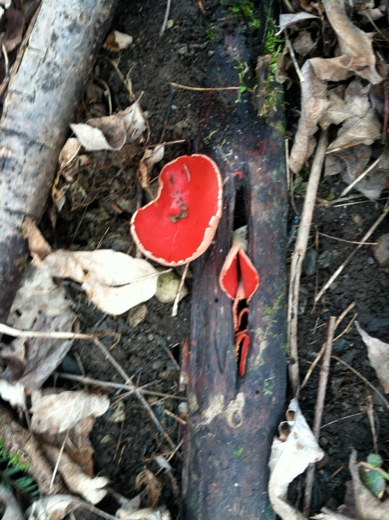 Even the woods can wear a red nose!