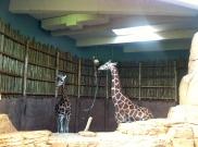 Lincoln Park giraffes