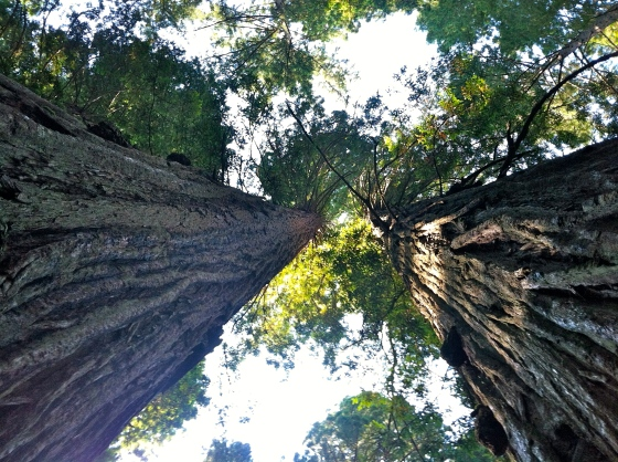 Looking up the skirts of ancient redwoods