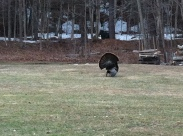 Seeing my first wild turkey strutting. VT