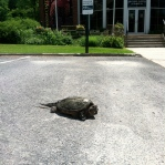 Start work in S&Co offices, with snapping turtle!